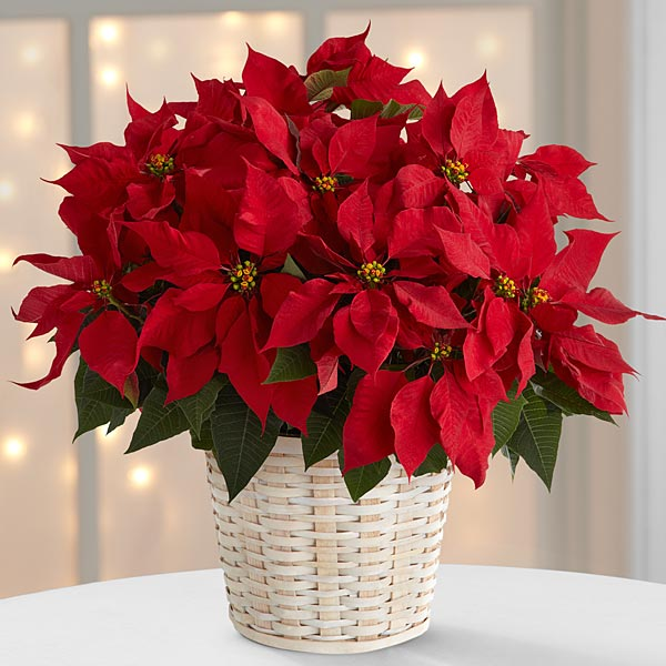 The Red Poinsettia Basket by FTD® - large
