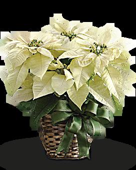 """White Poinsettia - 8"""""""